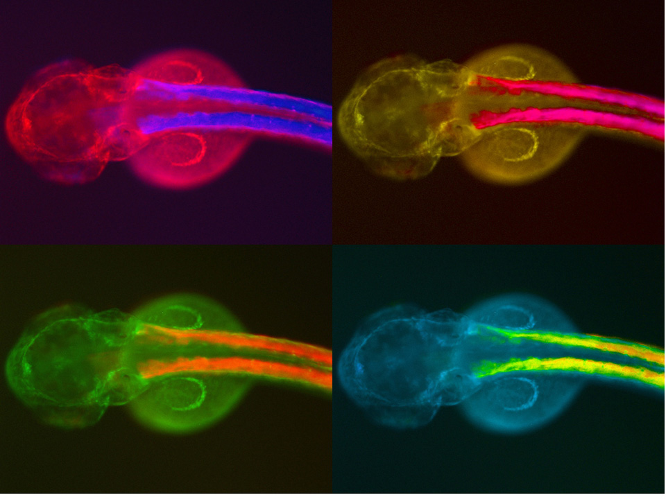 Regulació genètica i desenvolupament embrionari