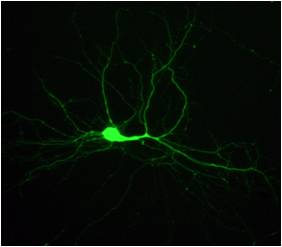Exploradors del cervell: com aprenem i recordem?