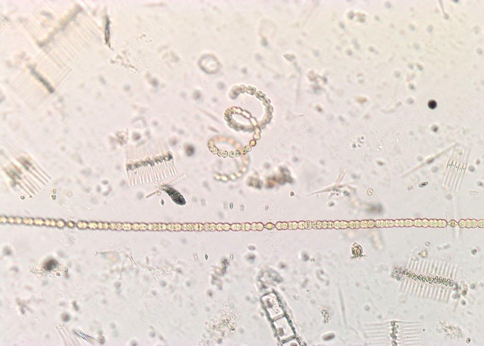 Com estudiem els rols ambientals de les microalgues
